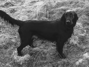 Skye, Flatcoated Retriever